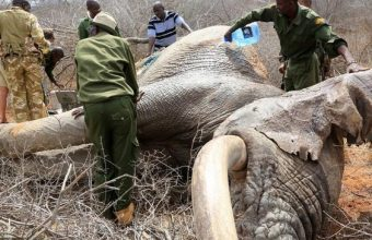 Elephants-survive-poaching-attack